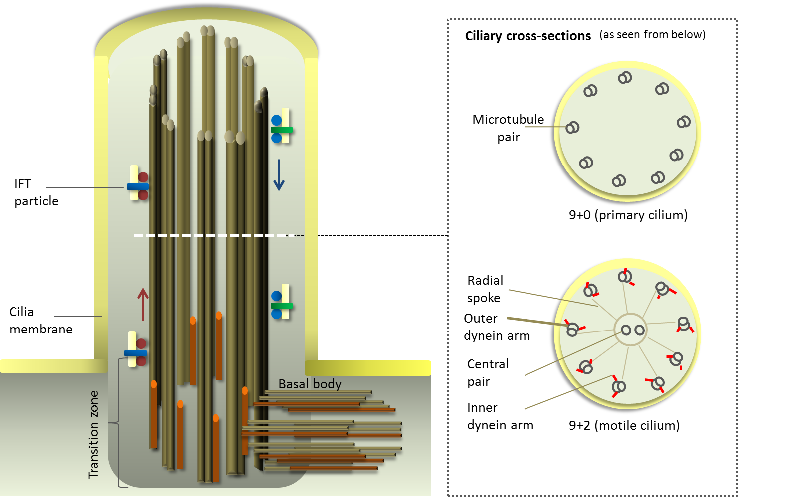 Structure And Function Of Cilia